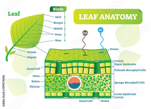 Leaf Anatomy Vector Illustration Diagram Biological Macro Scheme