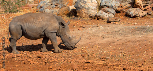 Poster Neushoorn Baby-Nashorn, freilebend in Namibia