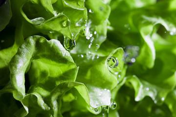 Fototapeta Lettuce salad and water drops.