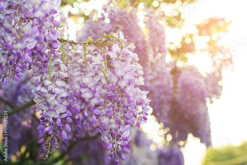 Cadres-photo bureau Jardin Wisteria flowers are blooming in springtime. Floral background.