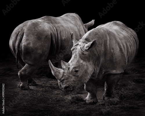 Poster Rhino White Rhinos