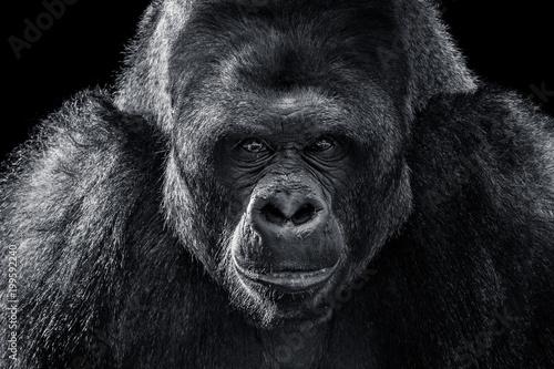 Obraz na plátně  Western Lowland Gorilla XII