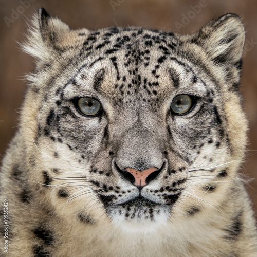Deurstickers Luipaard Snow Leopard Closeup