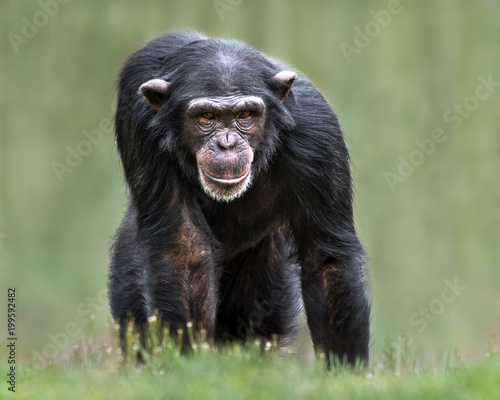 Fotografia Chimpanzee XXXII