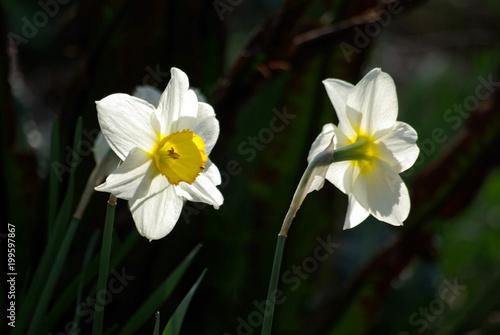 Papiers peints Narcisse Narcisse blanc et jaune au printemps