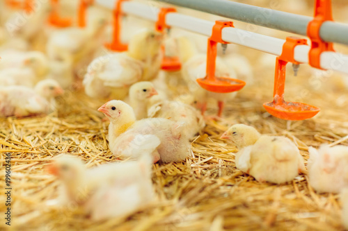 Indoors chicken farm, chicken feeding