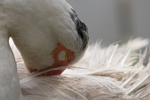 Close Up Of White Muscovy Fema...