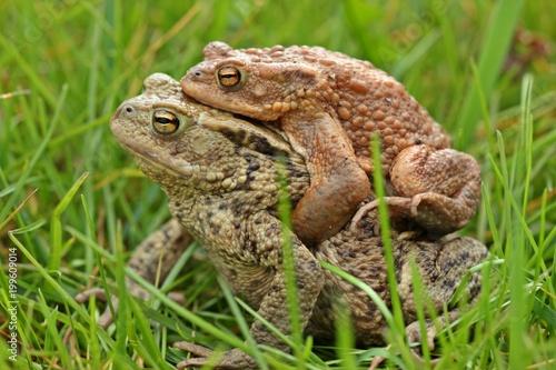 Erdkrötenpaar (Bufo bufo) auf Wanderschaft