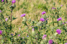Cirsium Vulgare (also Known As Spear Thistle, Bull Thistle, Or Common Thistle)