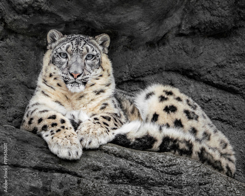 Tuinposter Luipaard Resting Snow Leopard