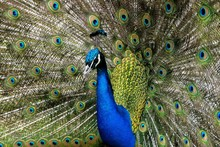 Peacock Fans His Tail