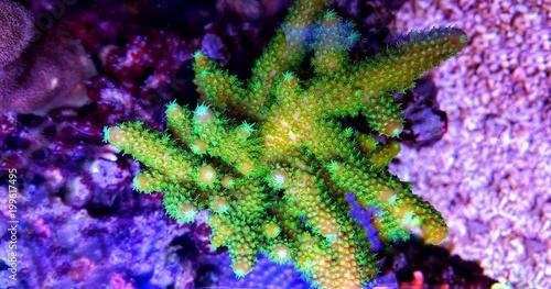 Poster Sous-marin SPS coral in reef aquarium tank