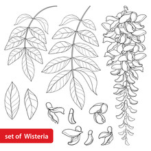 Vector Set Of Outline Wisteria...