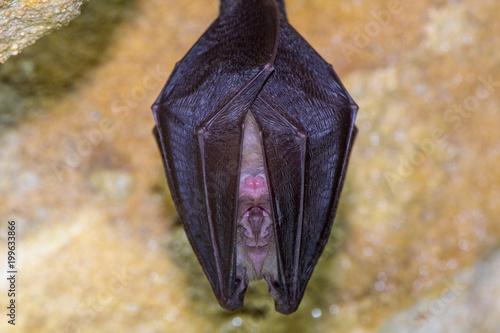 Fotografia Lesser horseshoe bat (Rhinolophus hipposideros) body close up