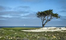 Lonely Cypress On Golf Course