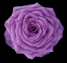 Rose  Purple Flower  On The Bl...