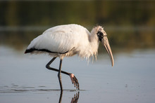 Wood Stork Wading And Fishing ...