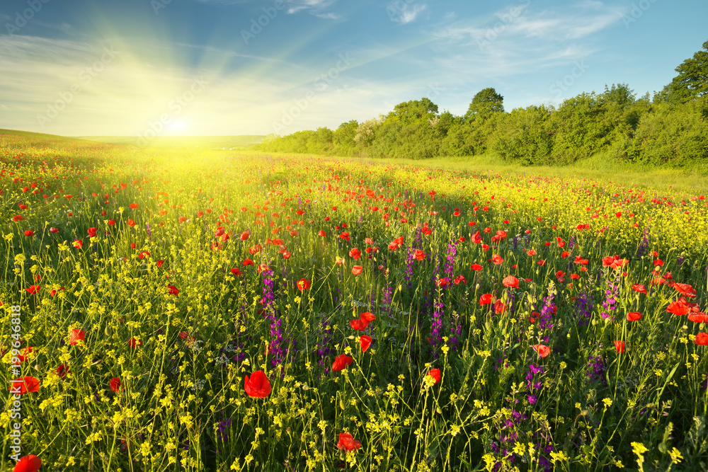 Fototapety, obrazy: Spring flowers  in meadow.