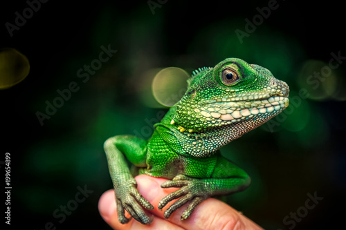 Close-up of a green beautiful lizard or Lacertilia  with big black eyes sitting Canvas