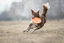 Dog Catching Flying Disk, Pet ...