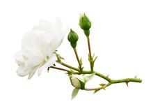 Garden White Rose Flower And B...