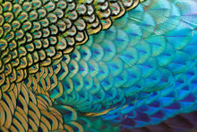 Beautiful Feathers Of Male Gre...