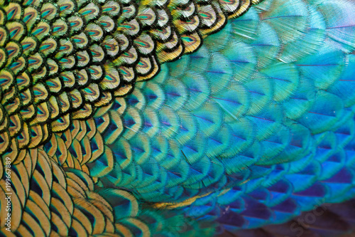 Photo sur Aluminium Paon Beautiful feathers of male green peafowl / peacock (Pavo muticus) (shallow dof)
