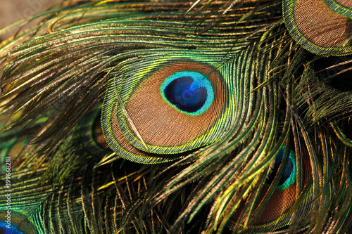 Spoed Foto op Canvas Pauw Green peafowl / peacock (Pavo muticus) eyespot on tail feathers (shallow dof)