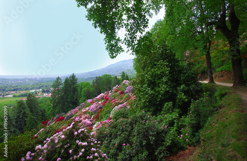 Photo rhododendron bloom in the Burcina park nature reserve in Biella, Italy