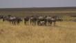 Gnus standing on dry plains