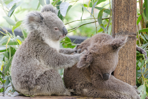 Foto op Canvas Koala Koala Australian Native Endangered Animal