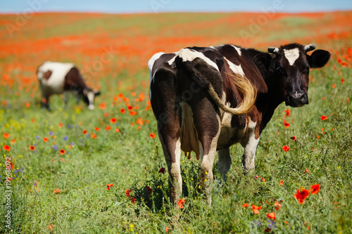 Fotobehang Koe Green field with cow in summer