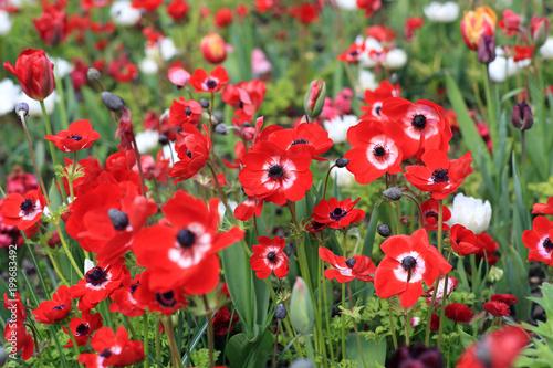 Fotografie, Obraz  Field of red anemones