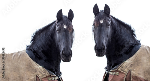 Photo Stands Ass two horses on a white background