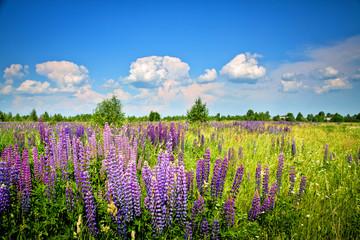 Beautiful rural landscape with purple flowers on a wild meadow