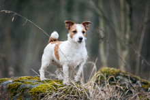 Jack Russell Terrier On The Tree. Spring Park