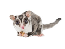 Sugar Possum Isolated On White Background