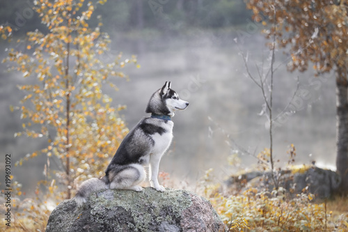 Siberian husky in the forest Canvas Print