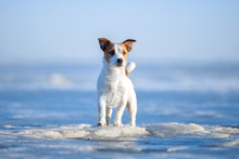 Jack Russell Terrier On The Ice