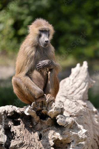 Fotografie, Obraz  Baboon (Papio) sitting on a tree stump