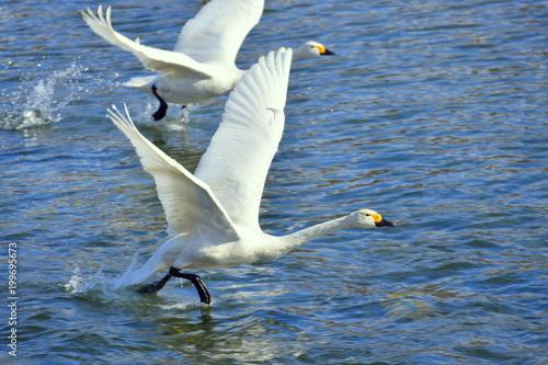 水の上を走る白鳥
