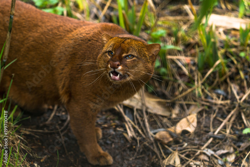 Jaguarundi (Puma yagouaroundi),  or eyra is a small wild cat native to southern North America and South America Canvas Print