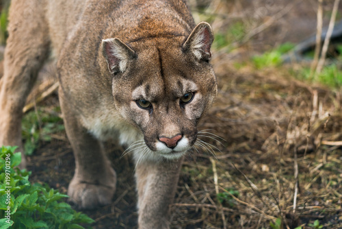 Puma (Puma concolor), a large Cat mainly found in the mountains from southern Canada to the tip of South America.