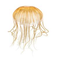 Japanese Sea Nettle, Chrysaora Pacifica, Jellyfish Against White
