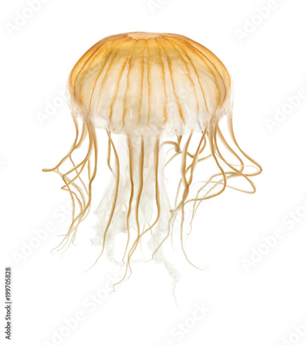 Japanese sea nettle, Chrysaora pacifica, Jellyfish against white