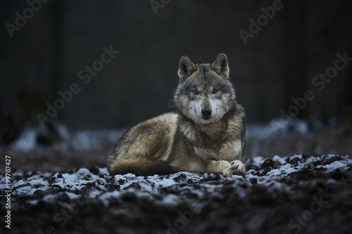 Foto op Plexiglas Wolf Wolf