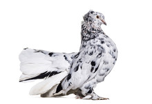English Fantail Pigeon Portrai...