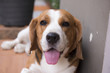 Beagle dogs are doing the gesture with delight
