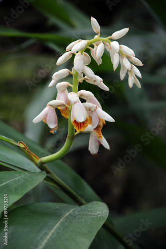 Muschelingwer Alpinia zerumbet Canvas Print