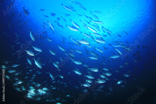 Trevally fish (Jacks) in ocean